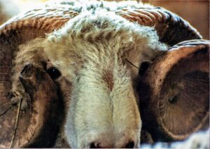 Picture of horned Dorset Ram of John Kading of Millbrook, New York and the former North Breeze Farm